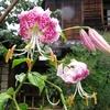 8月の高尾駒木野庭園に雨の中行ってきました