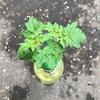 ペットボトル家庭菜園菜園!種まきから46日目。枝豆の正解。