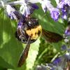 クマバチ(熊蜂)は黒くて大きくて怖いハチ?実は温厚でかわいい彼らの魅力と特徴