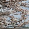 花は盛りに~蓮華寺池公園と瀬戸川の桜 2017ver.~