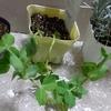 【植物と会話】スナップえんどう、シルバーリーフラベンダー