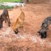タイ東北部イサーン地方にすむ農場犬の宿命 (ブラジリアンガードドッグ)2016