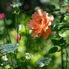 アプリコット色のバラ
