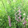 初めて! ウォーキングで出会った野の花