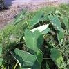 生き残ったサトイモをちょっとだけ収穫