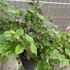 まだまだ咲くチロリアンランプ