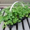 イタリアンパセリのセル苗を水耕栽培装置に定植。土を洗い流して、バーミキュライトと液肥で育てます