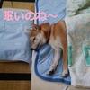 看板犬チャー、真夏の海、最高の思い出!!