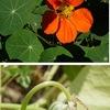 """ナスタチウム 和名はキンレンカ.花色には,オレンジや黄色,赤色やピンクなどがあります.花が美しく,ガーデニングの対象としては知る人ぞ知る人気種.葉や花はピリッとした辛みをもち,いずれも食用に.サラダやサンドイッチに利用.若い果実は酢漬けに=ナスタチウム製ケイパー.ナスタチウムはアブラナ目,ノウゼンハレン科,ノウゼンハレン属キンレンカ Tropaeolum majus.クレソンが所属する属Nasturtiumとは関係がありません. """"NHK まんぷく農家メシ!ルッコラ""""に登場したハーブたち4"""