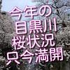 今年も目黒川の桜は満開になりました!