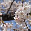 京都の春!金戒光明寺