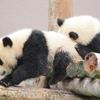 2月5日は「ふたごの日」~パンダが双子の片方しか育てない理由!~
