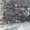 春ジャガイモの植えつけ