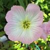 ヒルザキツキミソウ、ユウゲショウの花