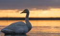 冬の訪れを感じさせるウトナイ湖で朝日と白鳥を撮影してきました