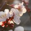 春はすぐそこに。アセビと梅の花が咲きました