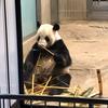 翔パンダの魅力