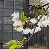大島桜満開!