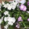 夏用花壇に模様替え
