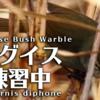 ウグイスの鳴き声【野鳥図鑑・鳴き声図鑑】Horornis diphone Warbler