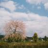 九州・中国の桜