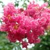 コクサギ型葉序 珍しい葉の付き方をする植物 サルスベリ