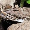 モンムラサキクチバの♂交尾器