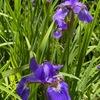 5月を彩る主役はアヤメでしょうか.大好きなムギセンノウはゴールデンウィークの花の位置づけ.「初恋」は満開ですが,ナデシコは品種によって咲く時期が全く異なるので,季節感を演出する主役にはなれません.アジサイ科の花々は,「春は完全に終わりです.もう夏ですよ」と印象づける存在.  楽しみにしているバイカウツギとヤマアジサイの開花は間近.ただここに在るだけで,----なんという,花や木たちの奇跡.