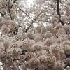 お花見。滋賀県
