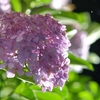 紫陽花と雨粒を撮る