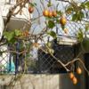 ネパ-ルの樹木と花 第8回目