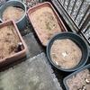 ヤブ蚊に刺されつつも降水による水分を得て腐熟が進んでいるであろうもみ殻堆肥を確認する