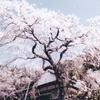 悟慎寺のしだれ桜(4月上旬~中旬)