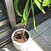 100均(ダイソー)パキラの成長記録。大きくなってきたので植え替えを実行。