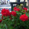 本日も快晴、シンフォニーロード散歩 薔薇、名前不詳の花、レンガ通り