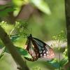 蝶の集まる不思議な木