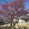 伊豆土肥桜と元湯