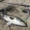【シーバスロッドで泳がせ釣り】最強コノシロパターン。生き餌最強説。