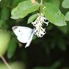 イボタノキの花の蜜を吸うモンシロチョウ