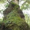 春のお伊勢参り旅行:伊勢神宮の中にある木々は生命力いっぱい