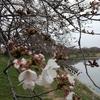河川敷の桜見