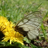 透けるような翅を持つウスバシロチョウ