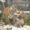 大森山動物園秋田でアムールトラ、4頭を母トラが育児中♪