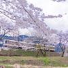 まだ楽しめる桜と地鉄電車