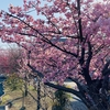 せせらぎ遊歩道の河津桜が咲いたよ!2021