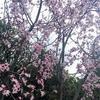 これは桃の花!?シリコンバレーの開花状況
