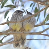 Baby wattlebirds