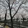 第50回 一宮桜まつりにぶらっと行ってきました