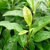 四番茶芽の生長