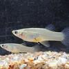メダカにそっくり、メダカの卵食べる外来魚確認